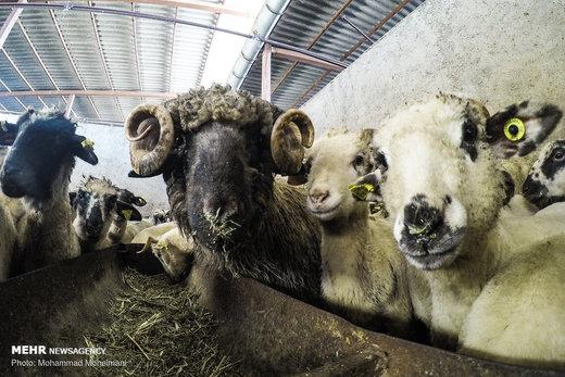 گوسفندان رومانیایی در تهران