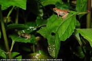 کشف گونه جدید قورباغه طلایی در اتیوپی/ عکس