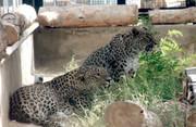 ماجرای لقاح مصنوعی روی پلنگ رو به انقراض ایرانی