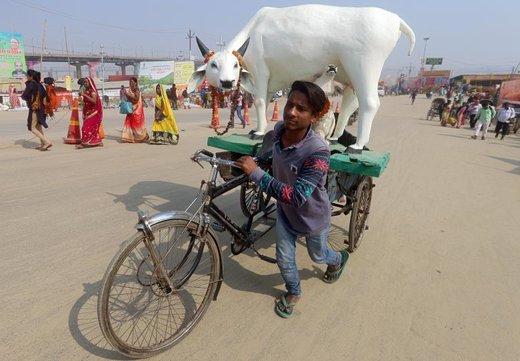 در روزهایی که هند میزبان جشنواره بزرگ مذهبی کوم ملا است، یک مرد هندی مجسمه گاو مقدس را به کناره رود گنگ منتقل می کند. هندوها جشنوارهٔ کوم میلا را بزرگترین مراسم زیارتی جهان میدانند