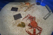 فیلم | تایملپس شگفتانگیز پوستاندازی یک خرچنگ