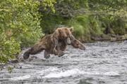 تصاویر | شیرجه خرس گرسنه برای شکار ماهی