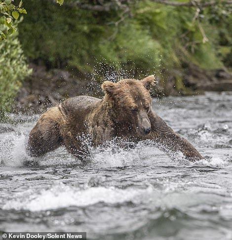 شکار ماهی سالمون توسط خرس قهوهای در آلاسکا