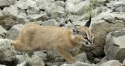 عکس | گربه وحشی در طبیعت ایلام