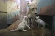 تصاویر | بچه شیرهای سفیدی که در جمهوری چک متولد شدند