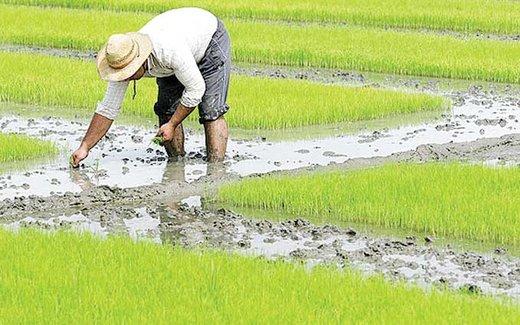 کشت برنج خارج از شمال آزاد شد؛ با رعایت شرایط خاص