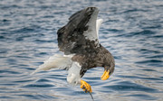 تصاویر | عقاب گرسنه ماهی هم شکار میکند!