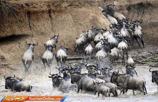 مهاجرت حیوانات در آفریقا