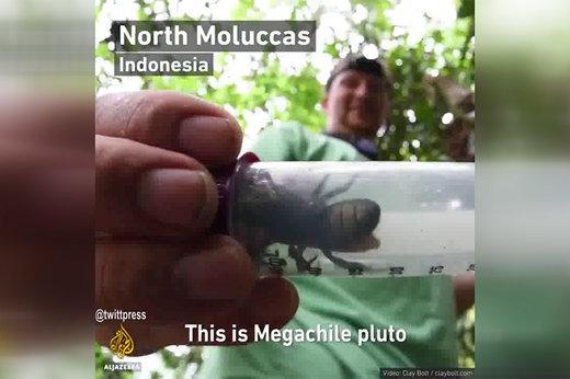 فیلم | کشف بزرگترین زنبور جهان در اندونزی