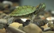 عرضه غیرقانونی لاکپشت برکهای و مار آبی در ماهیفروشیهای زاهدان