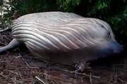 فیلم | کشف نهنگ ۸ متری در آمازون!