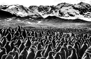 عکس | رژه پنگوئنها در عکس روز نشنال جئوگرافیک