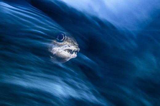 ماهی قرمز با چهره ای که به ببر می ماند، دندان هایش را نمایش می دهد و از میان یک موج سهمگین عبور می کند. این عکس برنده مسابقه در بخش عکاسی ماکرو شده است