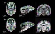 درک اتصالات نورونی با نقشهبرداری از مغز میمون