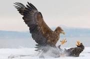 عکس | جنگ عقابها در عکس روز نشنال جئوگرافیک