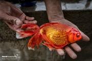 تصاویر   مزرعهای برای پرورش ماهی قرمزهای هفتسین