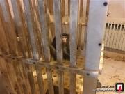 تصاویر | به دام انداختن میمون متواری در دانشگاه علوم و تحقیقات!
