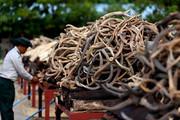 فیلم | خطر انقراض فیلها بهخاطر قاچاق عاجشان!