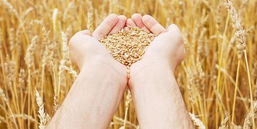 تحقیق الإکتفاء الذاتي في إنتاج القمح للسنة الثالثة علی التوالي