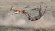 تصاویر | شکار ناموفق یوزپلنگ در کنیا