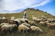 افزایش ۲۰ درصدی تولیدات دامی در بخش کشاورزی آذربایجان شرقی