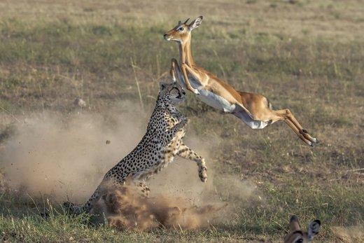 حیات وحش پارک ملی ماسایی مارا کنیا