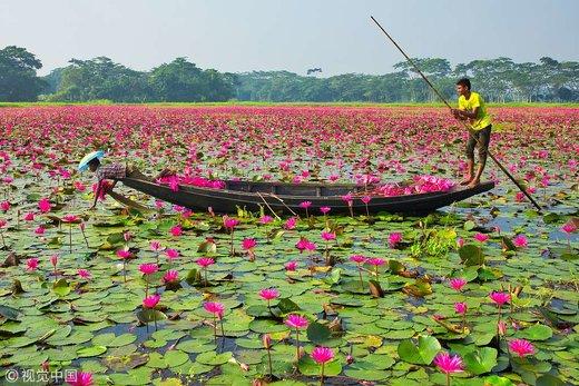 برداشت نیلوفر آبی در بنگلادش