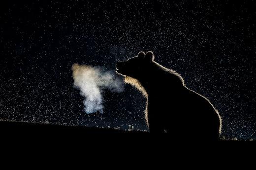 توله خرس در شب مهآلود در هارگیتا رومانی