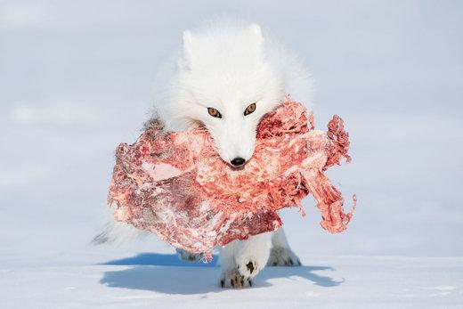 روباه گرسنه در پارک ملی Wapusk کانادا