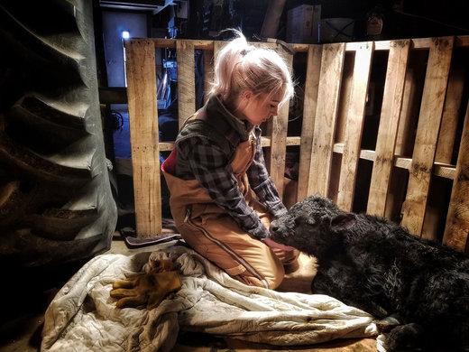 زن جوان، گوساله تازه متولد شده را در مزرعه پدرش در شهر بوشنل ایالت نبراسکا آمریکا تماشا میکند