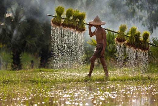حمل جوانههای برنج در استان ساکونناخون تایلند
