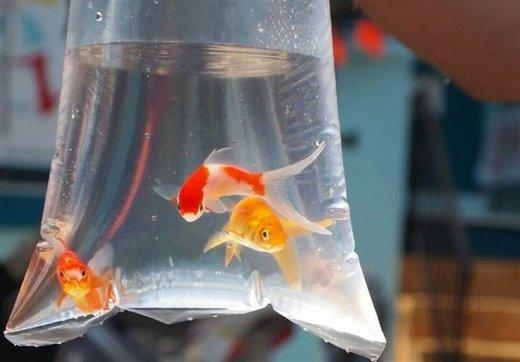ماجرای کرونا و ماهی قرمز شب عید