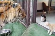 فیلم | واکنش گربهها وقتی برای اولین بار ببر میبینند