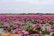 تصاویر | دریاچه نیلوفرهای سرخ در تایلند