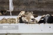 تصاویر | ورود اولین کشتی حامل دام زنده به کشور