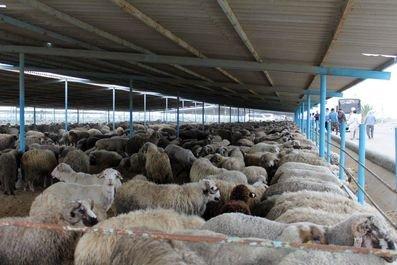 آخرین جزییات ورود ۵۰ هزار گوسفند/ ۴۰ هزار گوسفند زنده در راه ایران