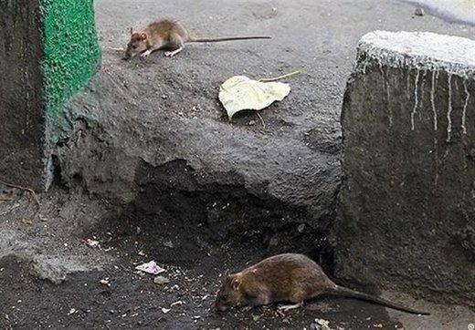 ۴ میلیون موش، همسایه تهرانیها هستند