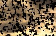 عکس | پرواز درناها در عکس روز نشنال جئوگرافیک