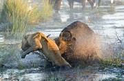 تصاویر | لحظات دیدنی مبارزه بوفالوها با شیرهای گرسنه