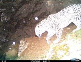 ثبت تصویر پلنگ در منطقه حفاظت شده سفید کوه خرم آباد