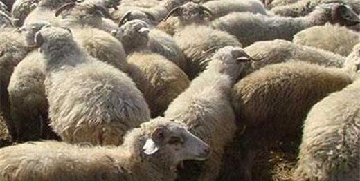 بلایی که برف یکمتری کالپوش سر گوسفندان آورد