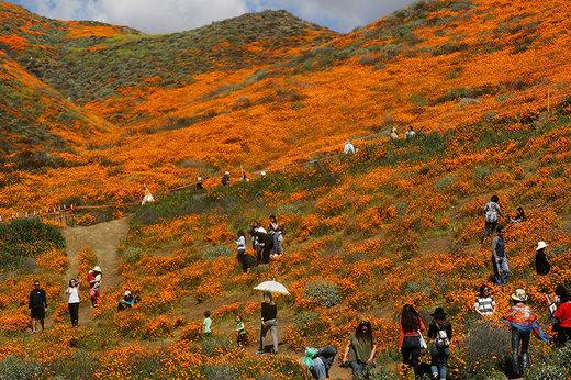 فیلم | فصل شکوفههای بهاری در کالیفرنیا