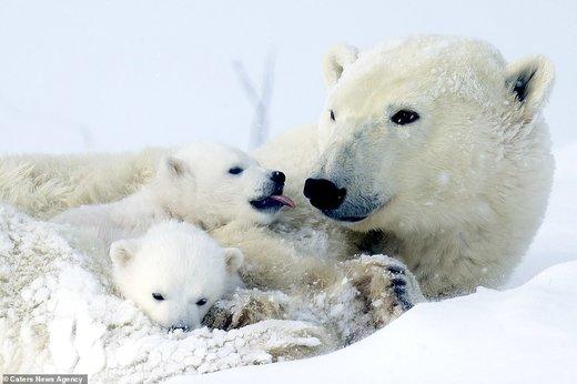 خرس قطبی با تولههایش در کانادا