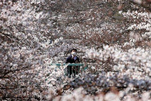 یک مرد به شکوفه های گیلاس در شهر توکیو ژاپن نگاه میکند