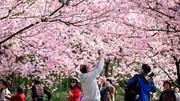 فیلم | بهار با این شکوفهها به چین رسید