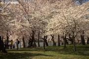 فیلم | فصل شکوفههای گیلاس در واشنگتن