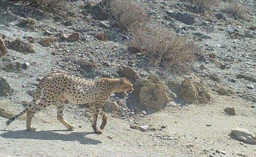 تصویر ۳ قلاده یوزپلنگ و پلنگ در پارک ملی توران ثبت شد
