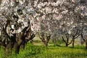 تصاویر | بهار در باغات کاظم داشی