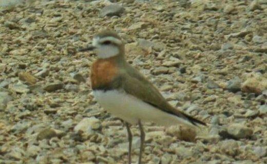 گونه کمیاب پرنده ایرانی «سلیم سینه بلوطی» در یزد مشاهده شد