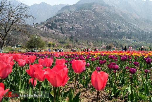 جشنواره گل لاله در کشمیر